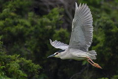 BCNH  Explore 6-20-2016 (ThruKurtsLens.com (Kurt Wecker)) Tags: usa water photography wildlife wildlifephotographer 2016 naturephotographer nikond500 thrukurtslenscom kurtwecker nikon200500