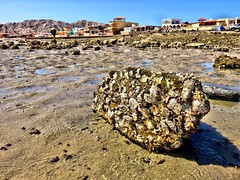IMG_0229a (Tina A Thompson) Tags: sonora seashells mexico sealife seashell marinebiology tidepools seaofcortez marinelife chollabay mexicobeaches chollabaymexico