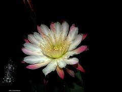 ER 160624 (49) (Paolo Bonassin) Tags: flowers cactus cactaceae cereus succulente cereusperuvianus cactacee