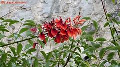 Coral Tree Flower - a detail, Erythrina, El Salvador (ssspnnn) Tags: flower tree planta coral arbol lumix flor el panasonic salvador elsalvador erythrina fabaceae arvore nunes coraltree fusca fz60 arboldecoral erythrinas erythrinafusca lumixfz60 spereiranunes snunes spnunes erythriinacristagalli lumix60d