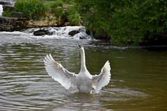 Swan (Glenn Pye) Tags: bird nature birds river swan nikon wildlife swans rivers riveravon d7200 nikond7200