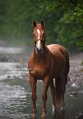 Mystic River (Hestefotograf.com) Tags: summer horse white norway caballo cheval cavalo pferd stallion whitehorse equine equus paard purarazaespanola hestefotograf