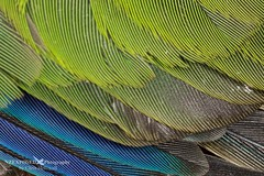 004_2031 (NZ Exposed Photography by Chris Helliwell) Tags: newzealand macro birds canon feathers zealandia redcrownedparakeet chrishelliwell nzexposed