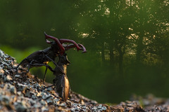 Stag-beetle fight (melnikovee) Tags: wild two nature bug insect fight exposure stag wildlife beetle double environment multiexposition