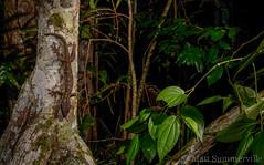 Giant Tree Gecko (Pseudothecadactylus australis) (Mattsummerville) Tags: rainforest australia lizard queensland gecko ironrange capeyork pseudothecadactylusaustralis gianttreegecko