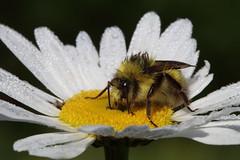 Bumble Bee (AlyssaCarlomusto) Tags: flower macro nature animal bug insect washington bee bumblebee