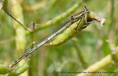 White-legged Damselfly IR P1010600 (Pitzy's Pyx, keep snapping away!.) Tags: ampthillpark ampthill greensandtrust greensandtrustvolunteers greensandridge lumixfz1000 whiteleggeddamselfly