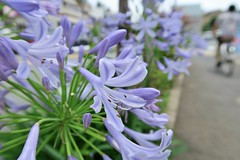 Agapanthus (namhdyk) Tags: flowers flower canon agapanthus earlysummer canonpowershot canonpowershotg7x