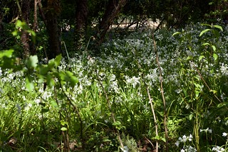 Seen through the hedgerow a clump of three cornered leek flowers