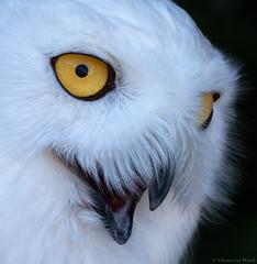 Watchful eyes... (Glenn van Windt) Tags: bird nature closeup natuur aves owl birdofprey vogel snowyowl uil roofvogel sneeuwuil buboscandiacus canonef400mmf56lusm