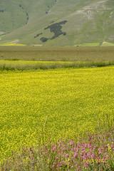 Castelluccio (10) (mauro_pet) Tags: fiori castelluccio fioritura
