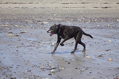 26/52/16 Beach run (Hodgey) Tags: dog beach dogs for lab place running josh weeks carrying covemaine52