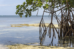 roots (bilderkombinat berlin) Tags: ocean sea reflection tree beach water daylight mar meer wasser horizon roots naturallight playa mangrove shore republicadominicana lasterrenas nofilter caribe hispanola saman quisqueya 2016
