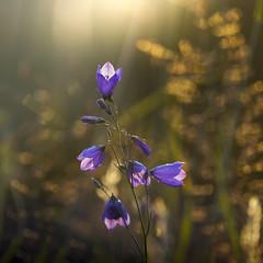 2016-06-29_10-52-06 (halland71) Tags: flowers blue light summer sky sun purple bokeh