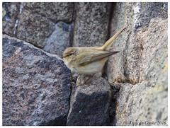 DS0D4467-Chiffchaff,-phylloscopus-collybita (duncancooke.happydayz) Tags: chiffchaff phylloscopus collybita isle may distinguishedbirds birdperfect birds bird warbler warblers scotland island