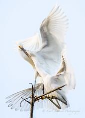 Parenting can be so tough.... (cbjphoto) Tags: bird beach photography snowy huntington egret avian egrettathula carljackson