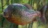 Piranha Tank (littlestschnauzer) Tags: tropical world leeds tourist attraction fish piranha carnivore carnivorous teeth skin glistening shimmering shimmer tank underwater swimming nikon d7200 scales animals nature