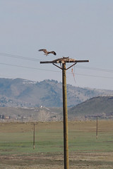 Osprey (Boulder Flying Circus Birders) Tags: inflight osprey pandionhaliaetus wildbirdcenter birdwalk boulderreservoir stevefrye ospreyboulder ospreycolorado wildbirdboulder wildbirdcolorado ospreybouldercounty