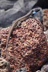 Canarische hagedis (Gallotia galloti ♂) (imanh) Tags: la reptile el lizard lapalma palma remo iman hagedis reptiel gallotia galloti heijboer imanh
