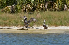 1OK_6069 (68photobug) Tags: nikon florida sigma pelican cedarkey brownpelican oldflorida nikor 150500mm 55300mm d7000 islandrookery 68photobug gulfcoastfishingvillage