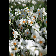 A host of... (Craig Williams Photography) Tags: flowers flower macro canon sussex spring daffodil southeast daffodils springflowers michelhampriory craigwilliams canon50d craigwilliamsgallery