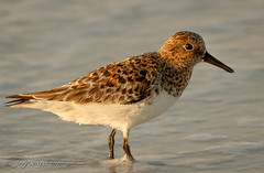 Sanderling (Rick Smotherman) Tags: ocean beach gulfofmexico nature water birds sunrise canon outdoors morninglight spring may 7d destin shorebird canon300mmf4l canon7d