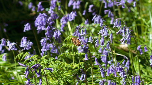 Bluebell Butterfly 9748