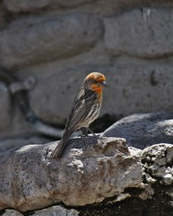 House Finch (yellow morph), Carpodacus mexicanus (tripp.davenport) Tags: birds tx housefinch carpodacusmexicanus davismountainsstatepark jeffdaviscounty