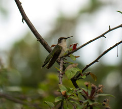 Ruby! (JKLsemi) Tags: bird hummingbird aroundthehouse rubythroatedhummingbird