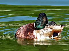 Sol de Junio (Franco DAlbao) Tags: bird water reflections lumix duck agua feathers ave pato mallard reflejos plumas leicalens nadereal dalbao francodalbao