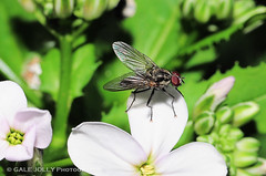 Fly on Sweet Rocket - (Hesperis matronalis) (Gale's Photographs) Tags: flower macro fly nikon hesperismatronalis d90 raynox250 sweetrocket nikond90