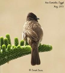 Bulbul (WhyCallSarah) Tags: canon birding egypt sx40 newdamietta pycnonotusbarbatusarsinoe egyptianbulbul