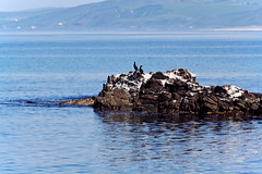 Common Shags (Mark has snapped) Tags: scotland argyll shag machrihanish seabirds kintyrepeninsula