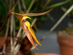bulbophyllum recurvilable (dendrofan) Tags: bulbophyllum recurvilable