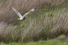 Short eared Owl (foxy145) Tags: shortearedowl