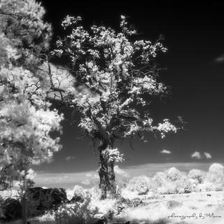 Otherworldly oak in IR