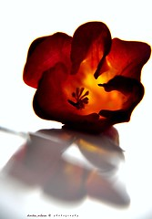 still life... (dimitra_milaiou) Tags: life light shadow red white flower color colour macro love nature beauty up yellow closeup reflections dark still nikon europe solitude close earth live style athens greece planet lovely shape pure fragile dimitra d90        milaiou