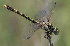 common sanddragon  (robert salinas) Tags: dragonflies sigma odonata a57 hornsbybend