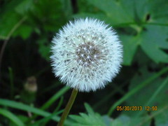 Natural Flower in Kashmir Valley (Sudip Majumder2012) Tags: kashmirindia aparadiseonearth