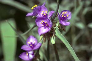 Photo - Blue Spiderwort