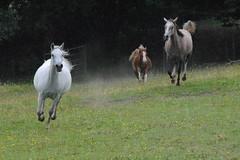 TROML - 427 (Clint__Budd) Tags: horses