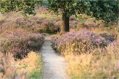 Posbank 2013 (nldazuu.com) Tags: bomen natuur magichour goldenhour posbank gelderland 70200f4l grassen heidelandschap herikhuizerveldrheden