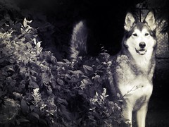 Garden Dog (roxy_foster) Tags: dog husky utonagan