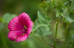 asteri-0343.jpg (airikuus) Tags: piha luonto pietarsaari punainen kasvit kaupungit kukat suomessa vrit paikat malvikki permolla kotipermolla