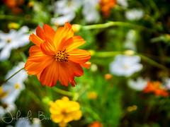 Wildflower Close-Up (johnathanwbass) Tags: summer flower macro floral up field closeup lumix spring close bass bokeh panasonic johnathan wildflower gf3