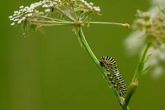DSC00097 - Swallowtail Caterpillars (steve R J) Tags: norfolk caterpillar explore british broad swallowtail hickling britishswallowtail