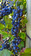 Concord grapes on the vine (annemconnor@yahoo.com) Tags: wild food beautiful vertical wisconsin fence vineyard healthy midwest flavor purple natural vine delicious barbedwire jelly organic copyspace lush concord jam edible grape fencepost ingredient vitamin bursting vitaminrich concordgrape