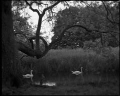 Drifting (ihavenowords) Tags: trees white lake black bird mamiya film water pool birds river reeds mono swan pond stream fuji swans neopan about 100 aquatic f28 67 rz drifting acros rz67 110mm mamiyarz67pro swannin