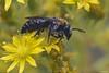 Colletes sp. dimidiatus canariensis.(♀) (juan_e) Tags: macro grancanaria insect prime natura interesante nationalgeographic islascanarias canariensis beautifulmonsters mothernaturesgreenearth