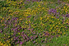 Heather and gorse (bathyporeia) Tags: ireland ulexgallii ericacinerea ©hanshillewaert